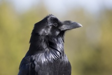 raven-1493817850gwu